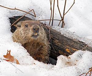 Photo of Ground Hog coming out of hole in the snow